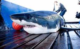 Mission Grands Requins Blancs