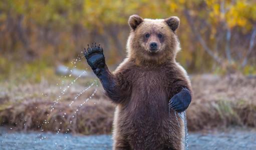 des-ours-aux-comportements-humains1